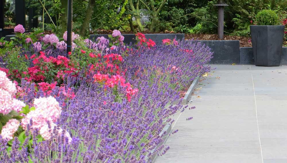bloeiende lavendel en rozen naast pad